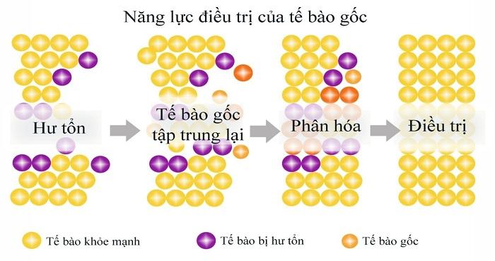 công dụng của tế bào gốc