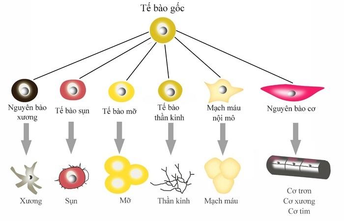 tế bào gốc, ứng dụng tế bào gốc, hiệu quả tế bào gốc, tế bào gốc giúp làm đẹp
