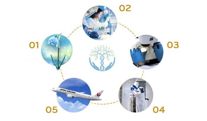 quy trình tách chiết tế bào gốc Nhật Bản trong liệu trình trắng da tế bào fuji