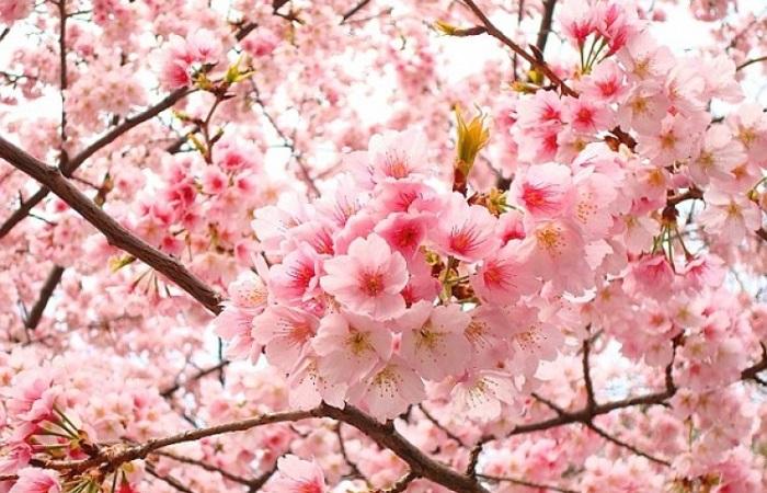 trị thâm vùng kín bằng hoa anh đào